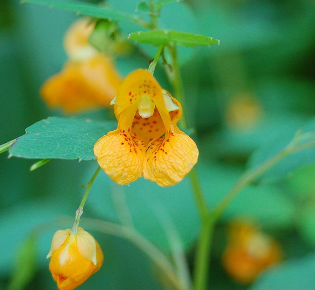 """""""Jewel Weed Impatiens capensis Flower"""" (c) 2006 Derek Ramsey (Ram-Man) - Self-photographed. Licensed under CC BY-SA 2.5 via Wikimedia Commons."""